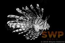 Lionfish, monochrome WO-0701M