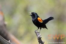 Singing Black Bird BA-1485