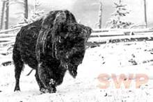 Yellowstone Winter Bison BA-10