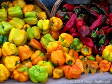 Fresh Peppers HB-23a