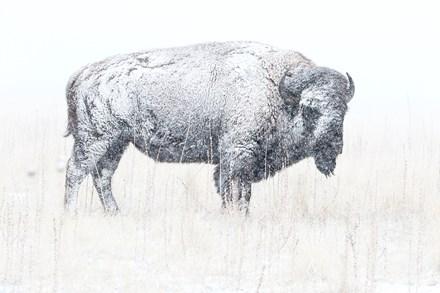 Lone Winter Bison monochrome, BA-22b