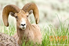 Ram Portrait BA-2242