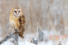 Winter Owl BA-4271