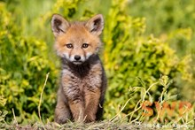 Curious Fox Pup BA-2038