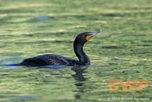 Cormorant BA-0657