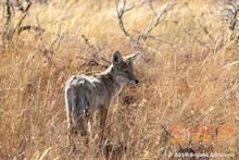 Fall Coyote BA-9845