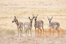 Doe Antelopes BA-0476