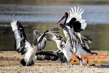 Stork Dance WO-0711