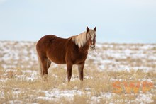 Wild Horse With Stick BA-1021