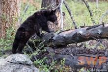 Exploring Bear Cub BA-1983