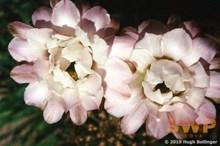 Lily Cactus HB-30