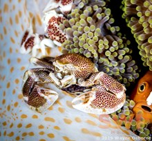Porcelain Crab with Onlooker WO-1352