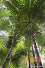 Palm Canopy CH-00009