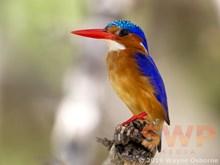 Kingfisher Silhouette WO-3135