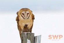 Barn Owl BA-3681