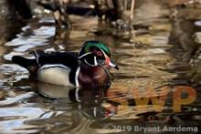 Wood Duck BA-0532