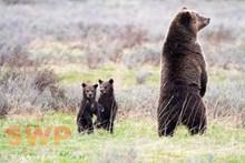 Tree Standing Bears BA-5255