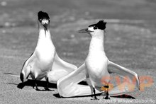 Dancing Terns, monochrome WO-5856M