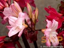 Rare bloom HB-24a