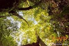 Leafy Canopy CH-00002