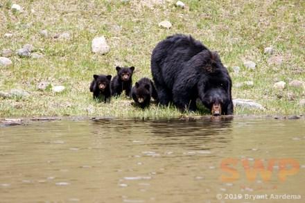 Black Bear Family BA-8709