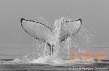 Tail Slap, monochrome WO-0716M