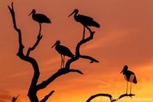Storks at Sundown WO-4544