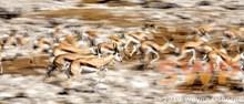 Springbok Stampede WO-0801