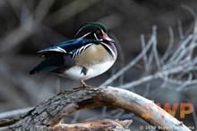 Drake Wood Duck BA-9872