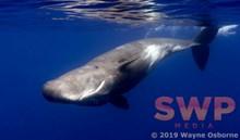 Curious Whale WO-5358