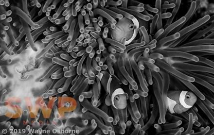Clownfish, monochrome WO-0501M