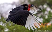 Hornbill WO-9453