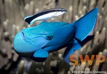 Triggerfish WO-0413