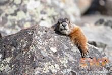 Marmot Watching BA-5712
