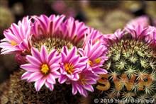 Rose Cactus Rose Cactus, HB-24a