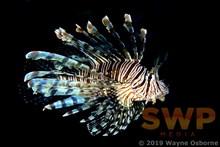 Lionfish WO-0701