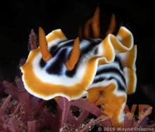 Nudibranch WO-1039