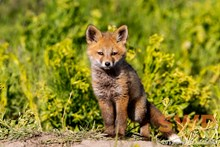 Fox Pup Portrait BA-2297
