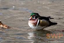 Floating Duck BA-2943