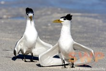 Dancing Terns WO-5856