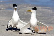Dancing Terns WO-5856