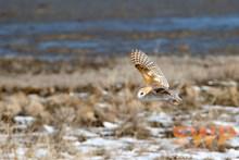 Flying Barn Owl BA-3230