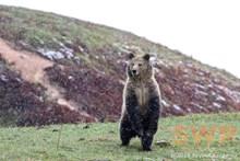 Standing Bear BA-7178
